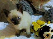 Сиамские котята !