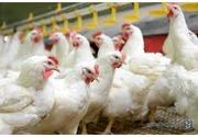 Яйца инкубационные Венгрия Польша Чехия  бройлер и др породы Несушка