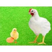 Инкубационные яйца Бойлера и других пород