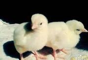 Инкубационные яйца КОББ 500 несушка индюки утки Импортные