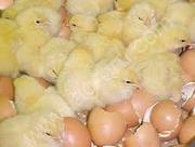 Инкубационные яйца импортные всех пород