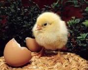 Инкубационное яйцо Бройлера Импортное