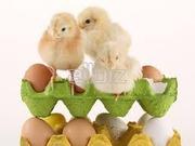 Инкубационные яйца бройлера КОББ 500 с Польши и другие породы