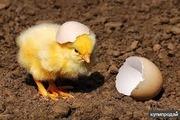 Инкубационные яйца птицы разных пород